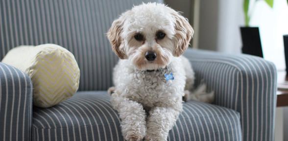 Los embarazos psicológicos en las perras