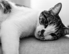 La toxoplasmosis y los gatos