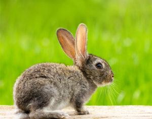 ¿Cuánto sabes realmente sobre la dieta de los conejos?